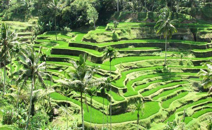 Cánh đồng lúa Tegalalang Bali